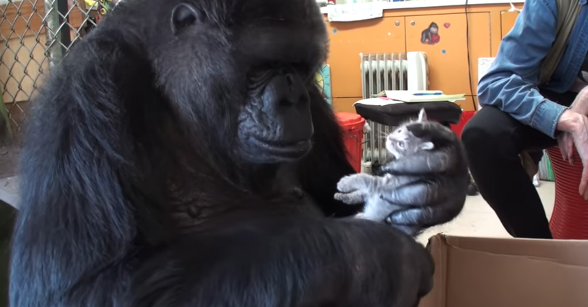 Koko the Gorilla Falls in Love With Pet Kittens for Her Birthday!