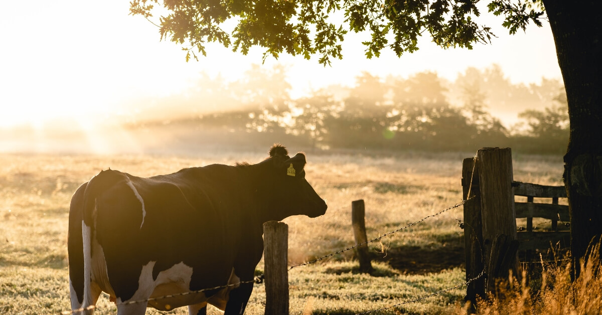 Heard of 'Buy a Bale'? Now it's 'Buy a Cow' to Help Our Farmers
