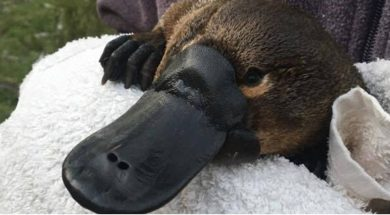 UNSW-Science-Platypus-research-image-1-Picture-by-UNSW-a-2.jpg